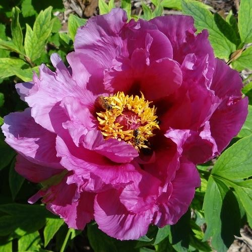 Shimadaijin Tree Peony, $34.95 - has beautiful purple blossoms that are sure to attract attention when in full bloom. The fragrant blossoms are large, about 8-inches across, with ruffled, satin-like petals. Shimadaijin blooms in late spring to early summer for 2 to 3 weeks, depending on the weather. When the temperatures are cooler, the blossoms will appear for a longer time.  The blossoms make great cut flowers.  Winter hardy to Zone 4.