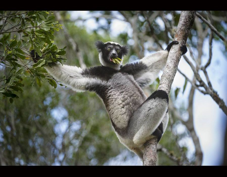 Indri, a type of lemur threatened with extinction, as are most lemur species which are found only in Madagascar, an island off the coast of Africa.
