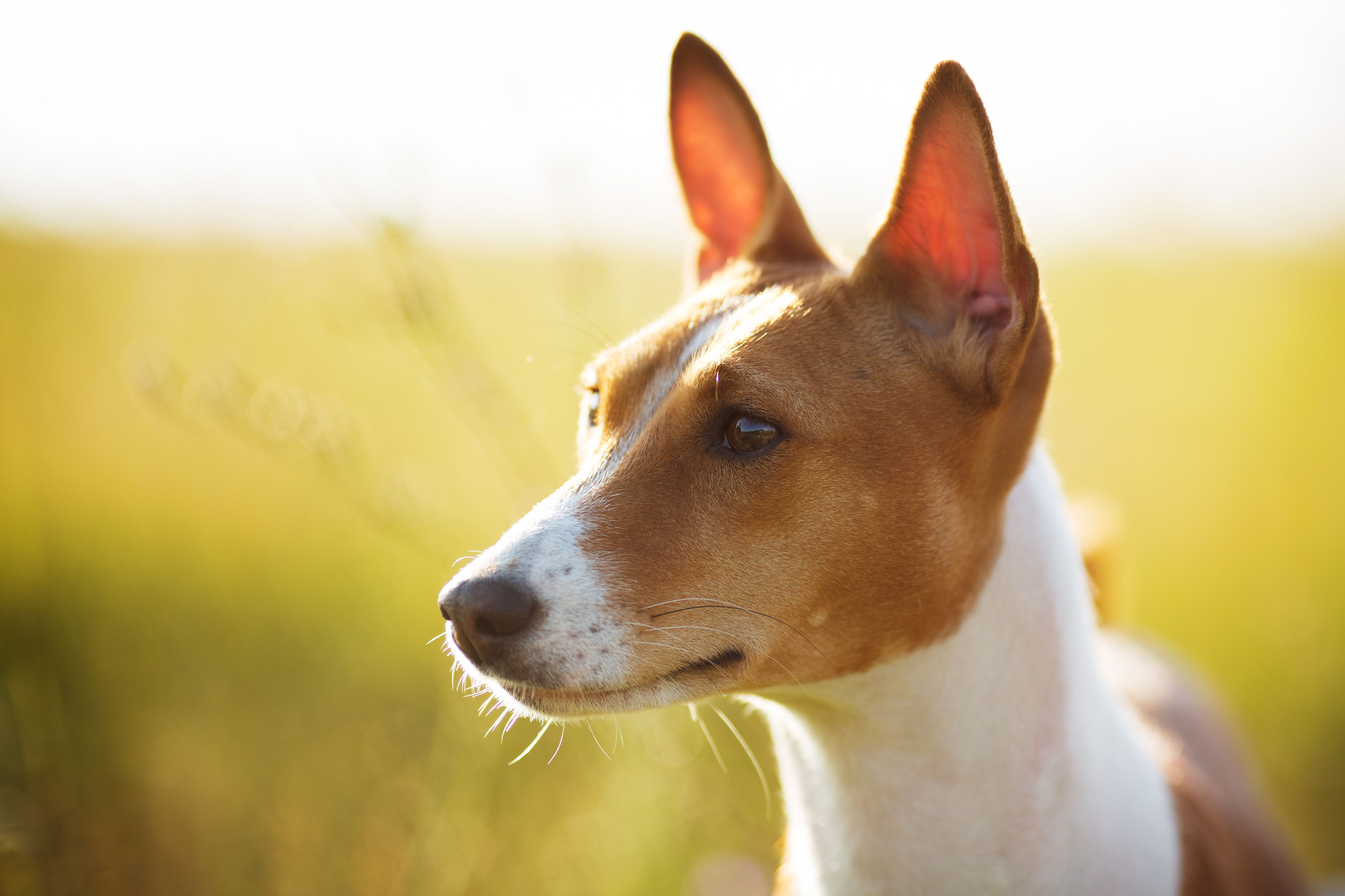 Did You Know The Basenji Is The Only Barkless Dog In The
