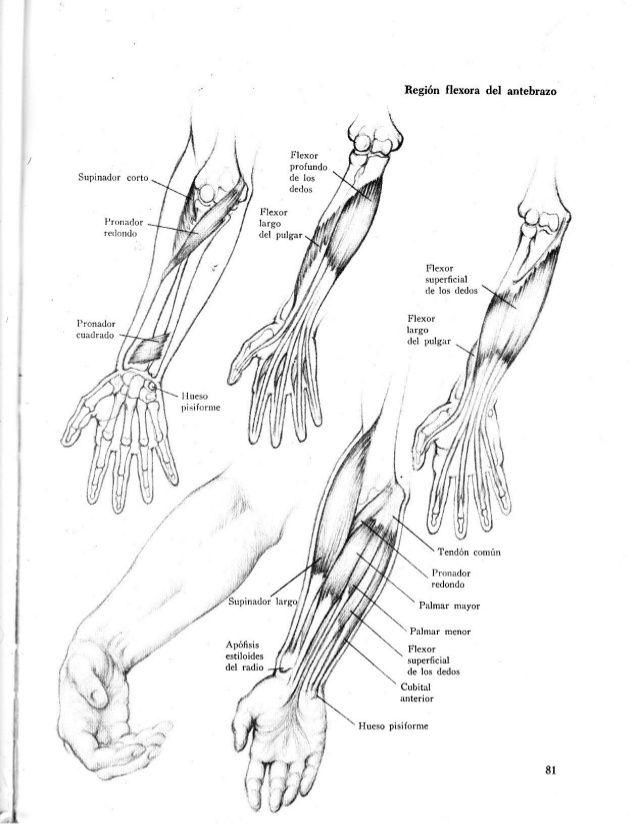 Anatomia-artistica-dibujo-anatomico-de-la-figura-humana … | Pinteres…