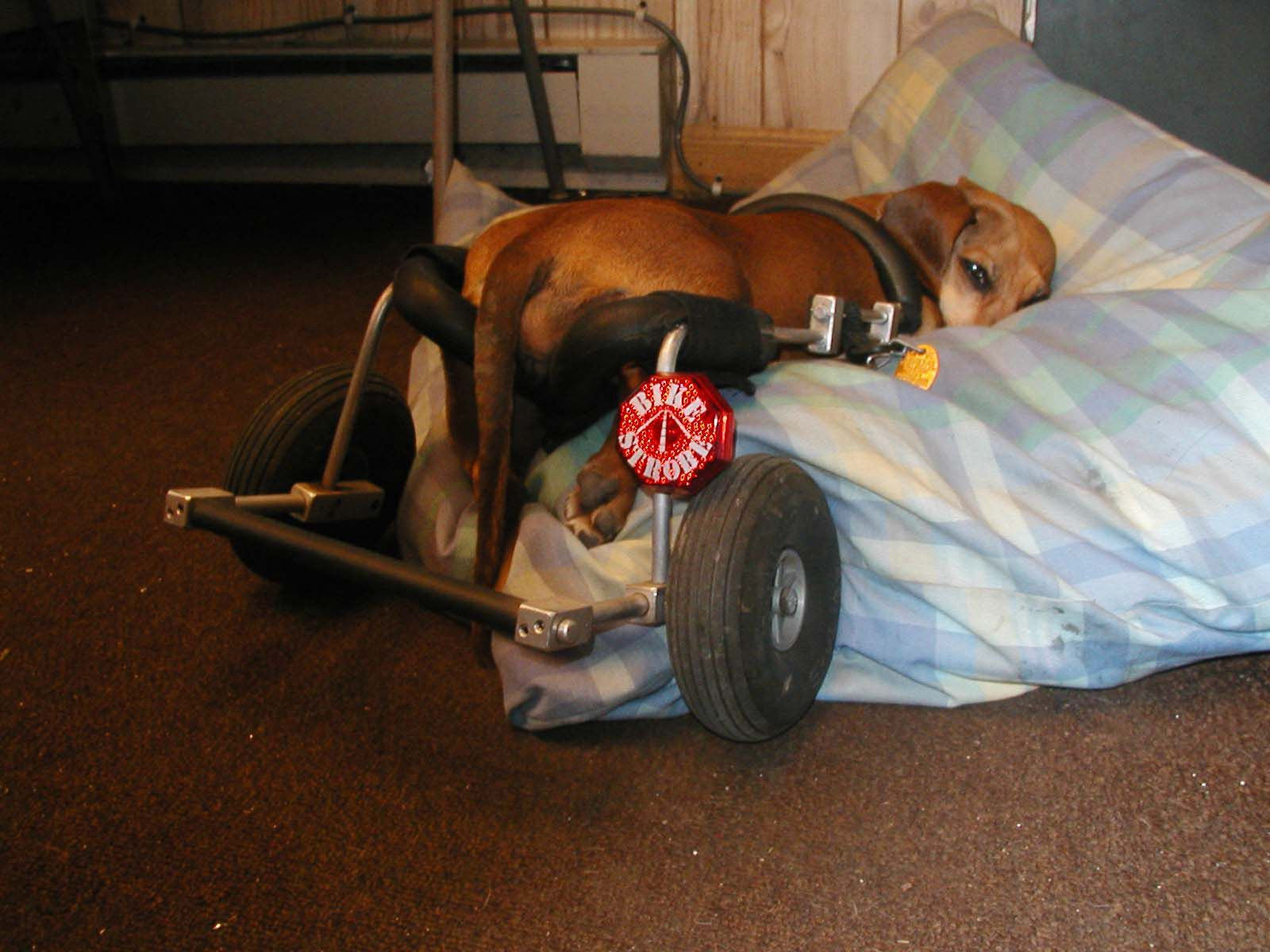 All Tuckered Out In Her Dog Wheelchair From Eddie S Wheels Dog
