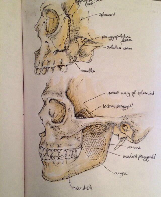 Human Head Anatomy Note| | Nursing school | Pinterest | Anatomía ...