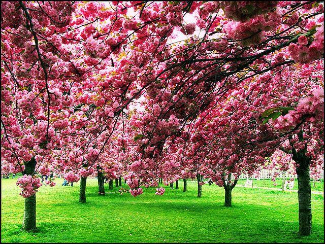 Cherry Blossoms Cherry Blossom Pictures Outdoor Gardens Cherry Blossom