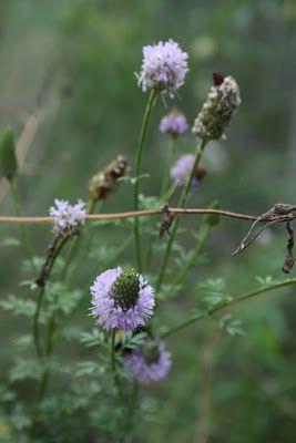 Native Florida Wildflowers Pink Prairie Clover Dalea Carnea Wild Flowers Prairie Pink