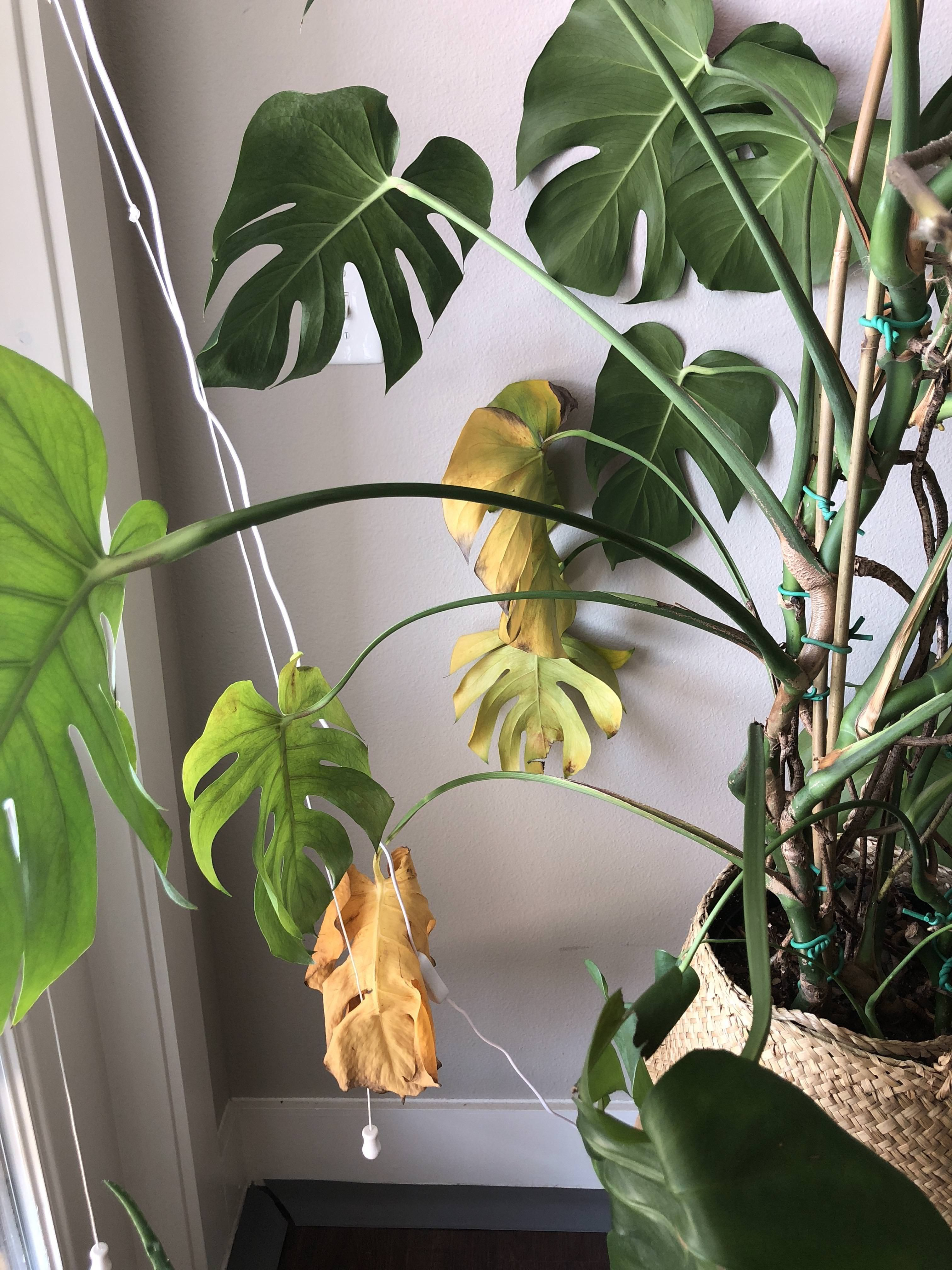 Established Monstera Lower Leaves Yellowing And Dropping After Repotting And Pruning Roots A Few Months Ago Still Healthy Living Lifestyle House Plants Plants