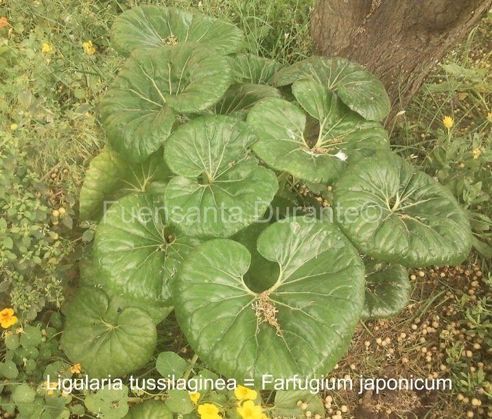 Plantas para jardines mediterr neos ligularia for Plantas jardin mediterraneo