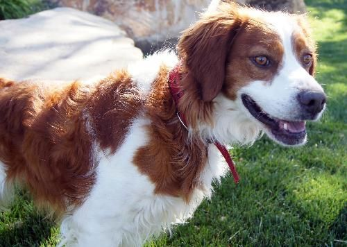 Angus Adoption Pending Brittany Spaniel Dog Baldwinsville Ny