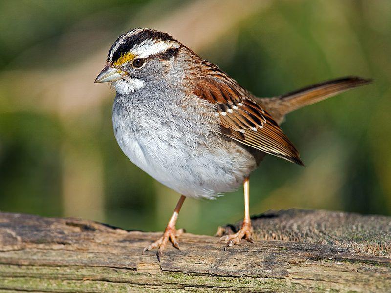 Whitethroated Sparrow Birds, Animals, Beautiful birds