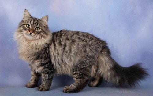 Siberian Cat Long Hair Cat Breeds Long Haired Cats Cat Breeds