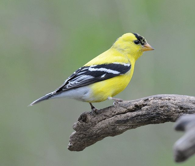 American Goldfinch Goldfinch