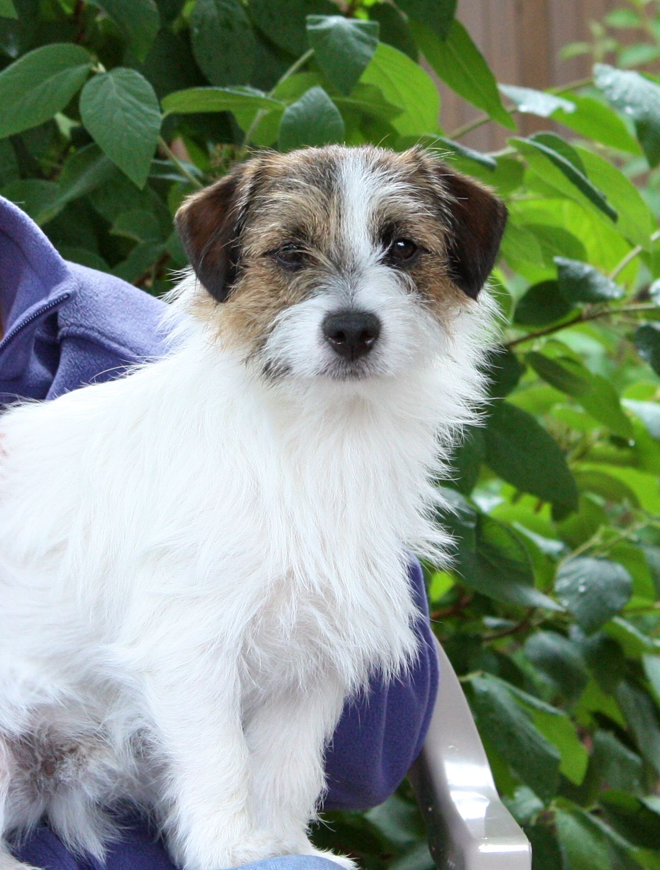Cosmo The Perfect Rough Coat Jack Russell Jack Russell Jack Russell Dogs Jack Russell Puppies