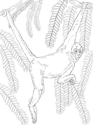 Mono Araña de Geoffroy Dibujo para colorear | Dibujos | Coloring ...