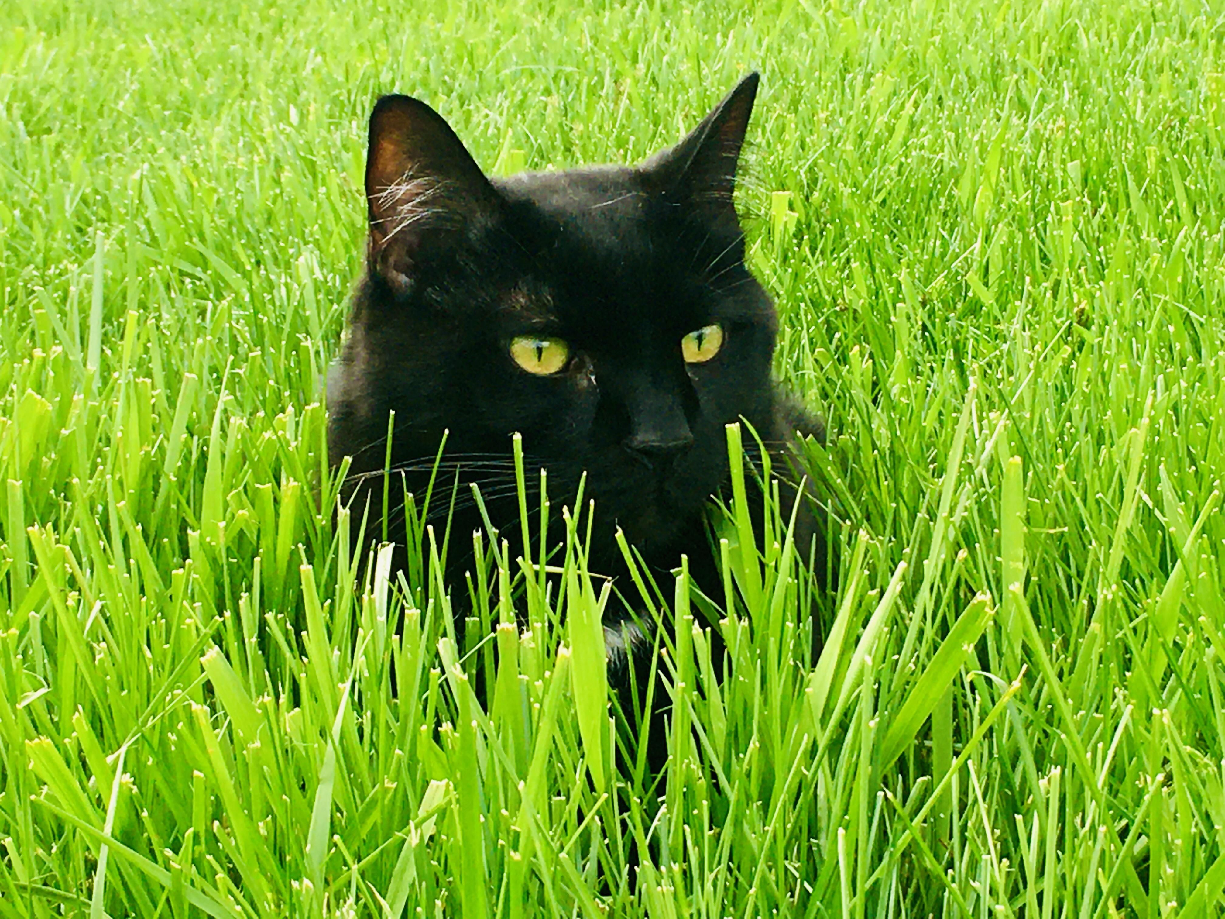 Void in the grass   Black cat pictures, Cats, Cat pics
