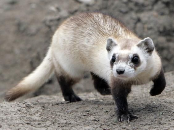 With Its Long Slender Body The Black Footed Ferret Easily