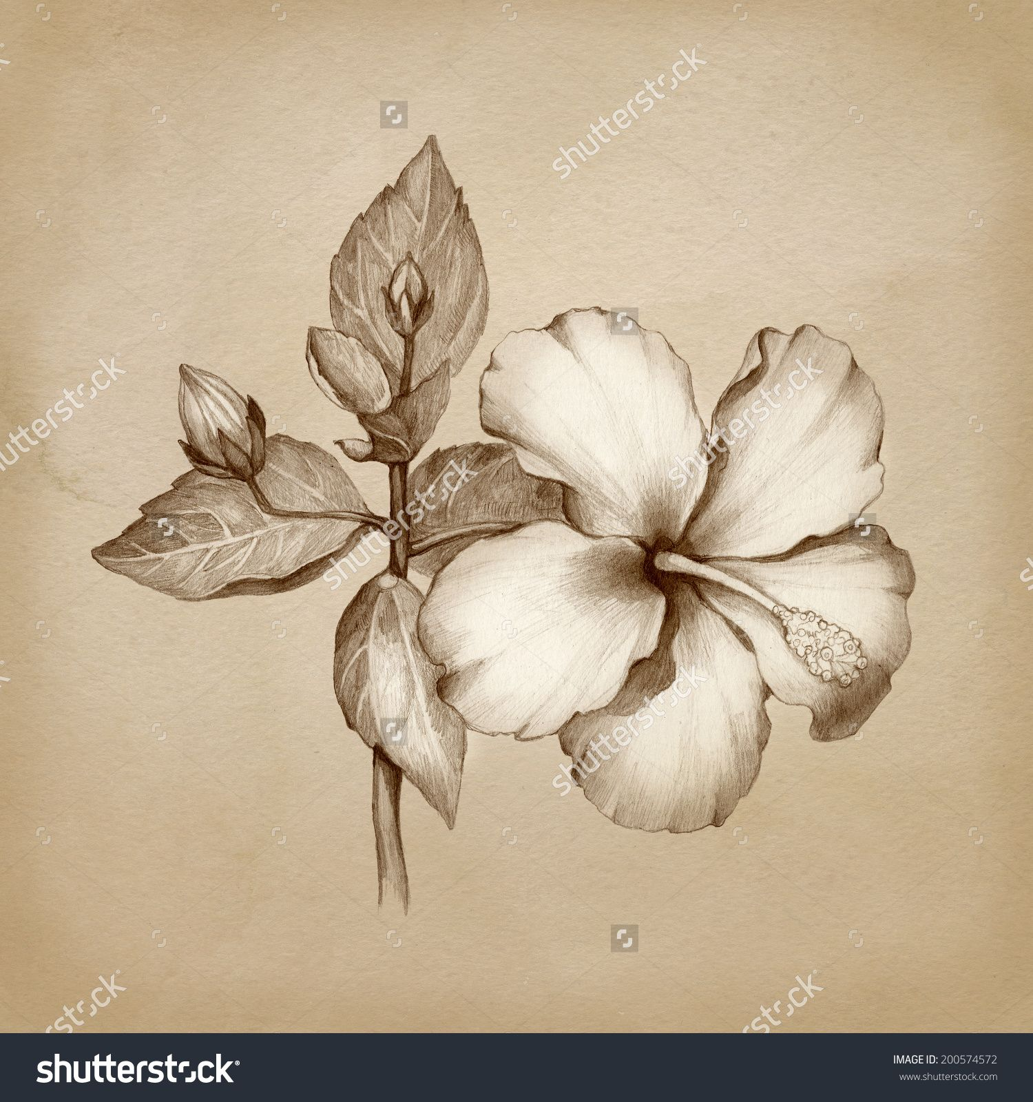 Oleander Pencil Sketch Google Search Tattoo Pinterest Tattoo