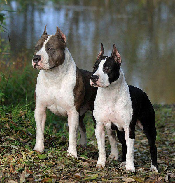 Amstaff Dog Breeds Pitbull Terrier American Pitbull Terrier