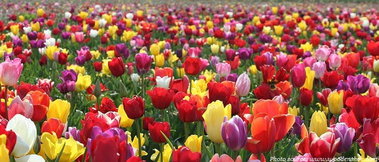 Interesting Facts About Tulips White Flower Farm Growing Tulips Tulip Fields