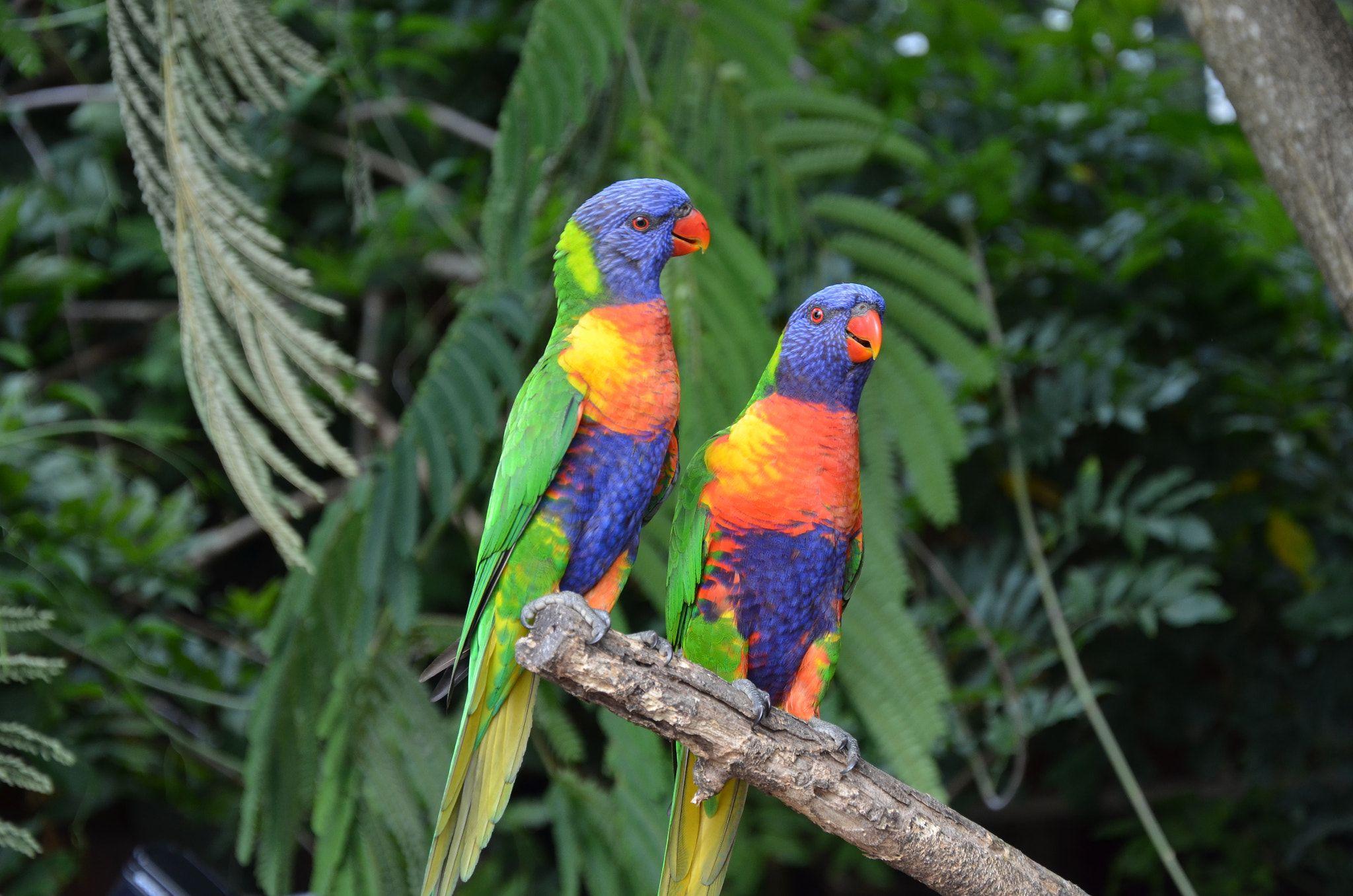 Lori australia parrot lori mit bildern bilder