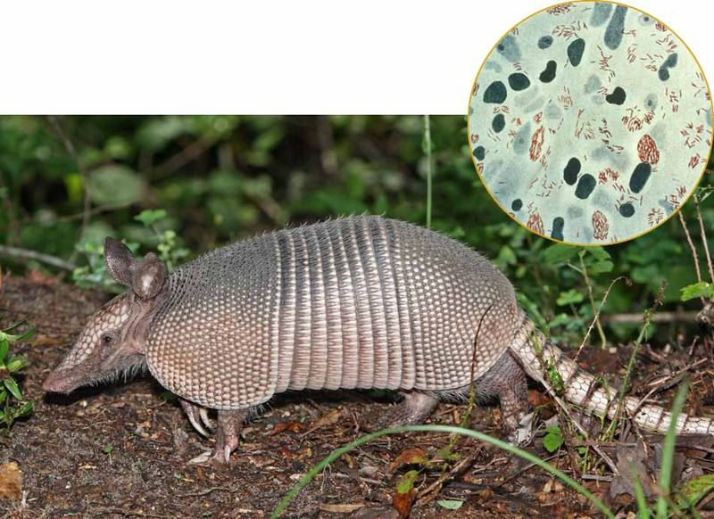 Culprit. Armadillos harbor the same strain of leprosy-causing bacteria (inset) found in people who get the disease, which suggests the animals are transmitting it.
