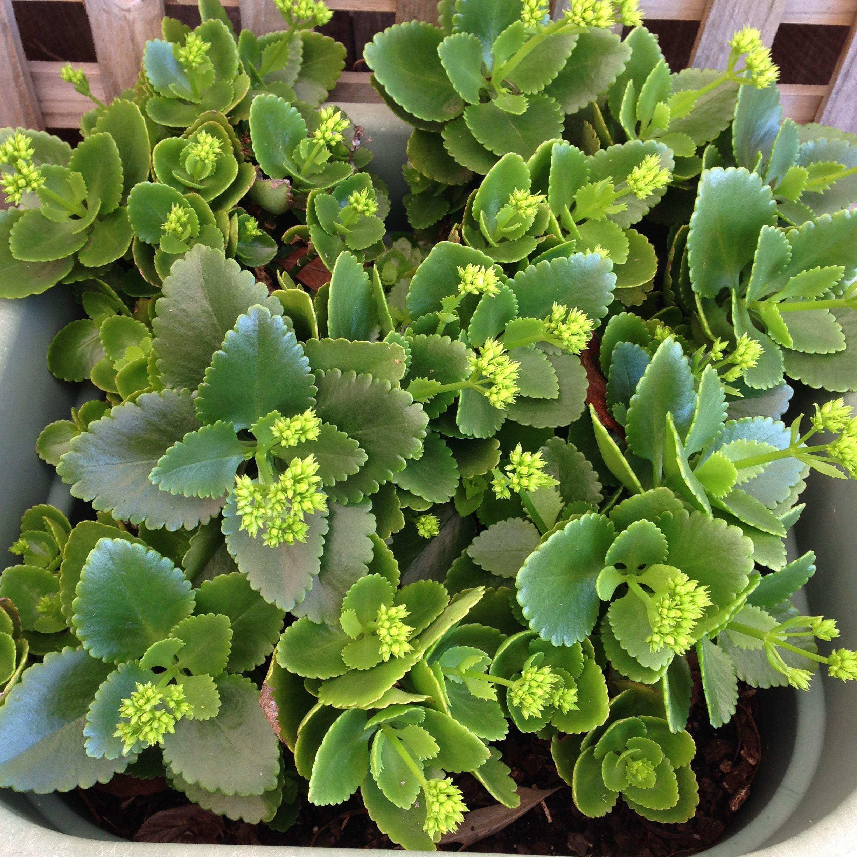 Kalanchoe Blossfeldiana Kalanchoe Blossfeldiana Brown Thumb Plants