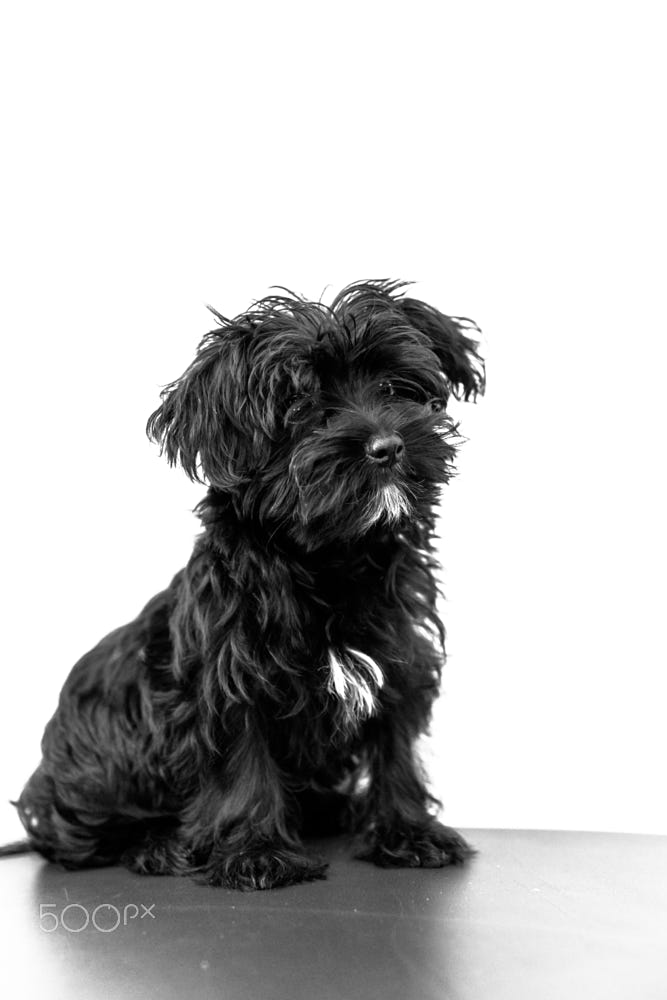 Maltese Black Dog By Alberto Mazza 500px Schwarze Hunde Flauschige Hunde Malteser Mix