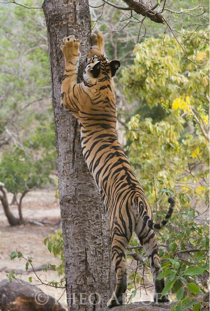 Tiger scratching tree Mystérieux, Chat, Inde