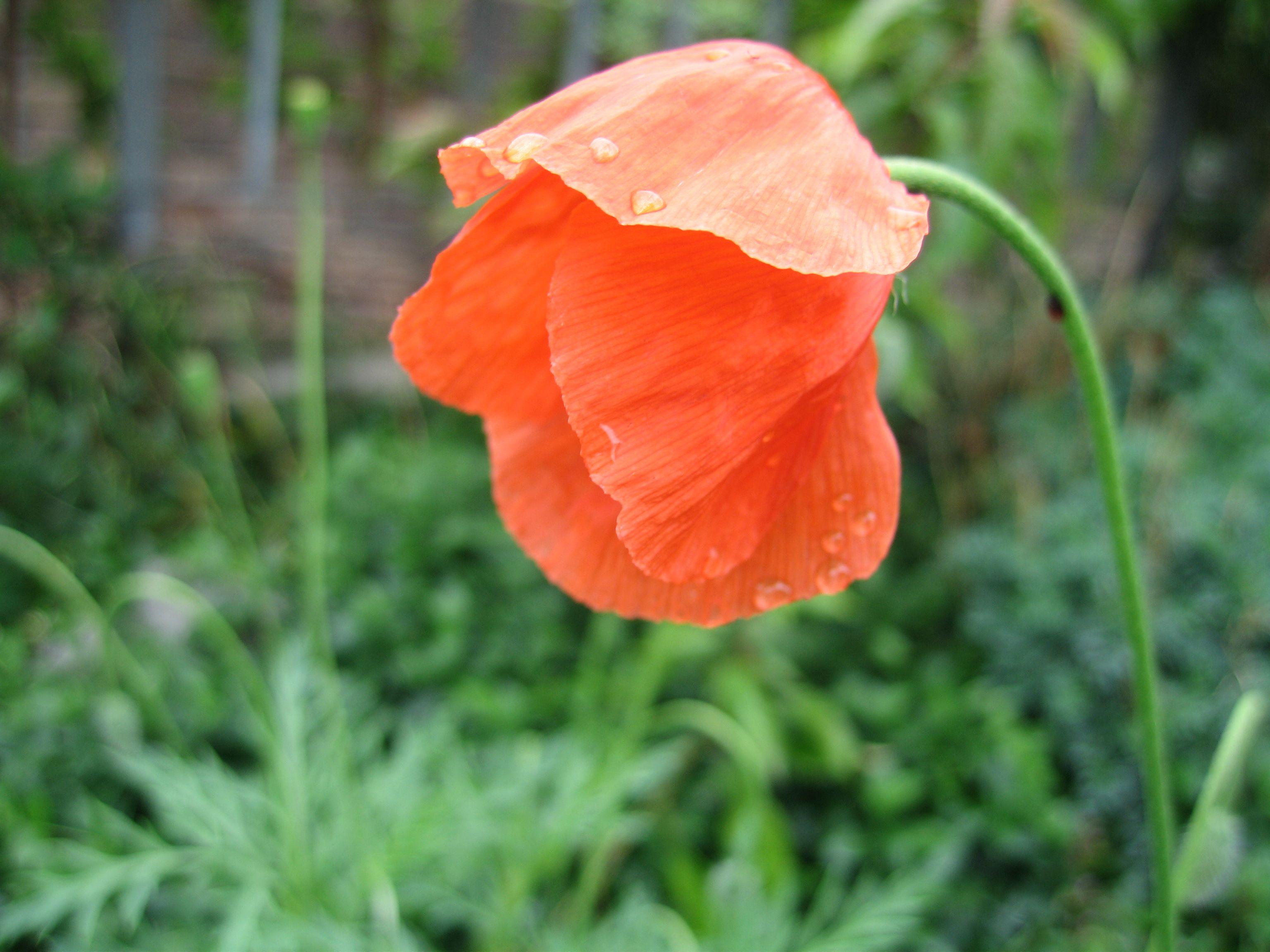 Flowers Poppy Flower Vivid Red After Flowers Bloom Warm