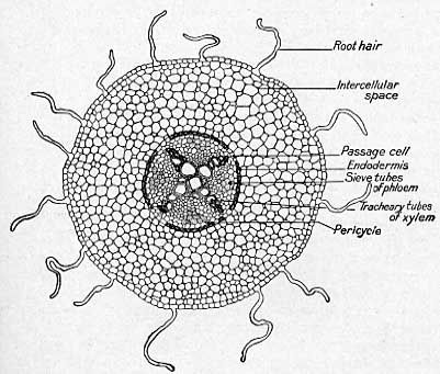 image result for dicot root diagram