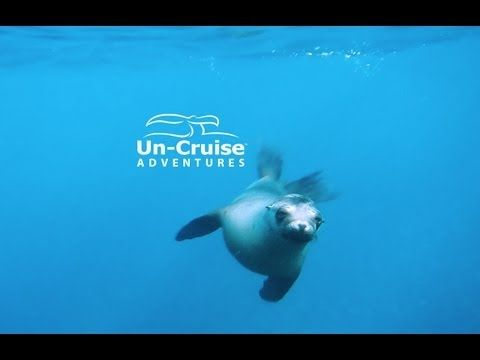 Snorkeling with Sea lion pups #Adventure #Travel #Cruise Un-Cruise.com