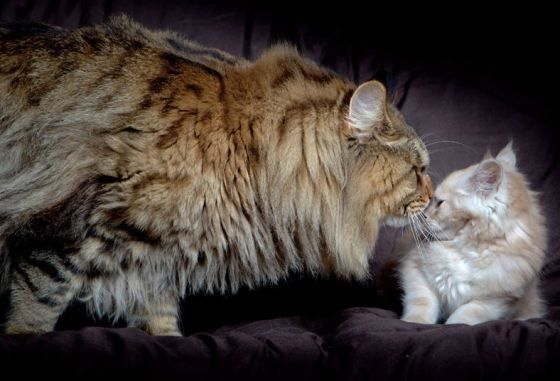 Giant Moggy Rupert Looks At A Regular Sized Cat In Melbourne