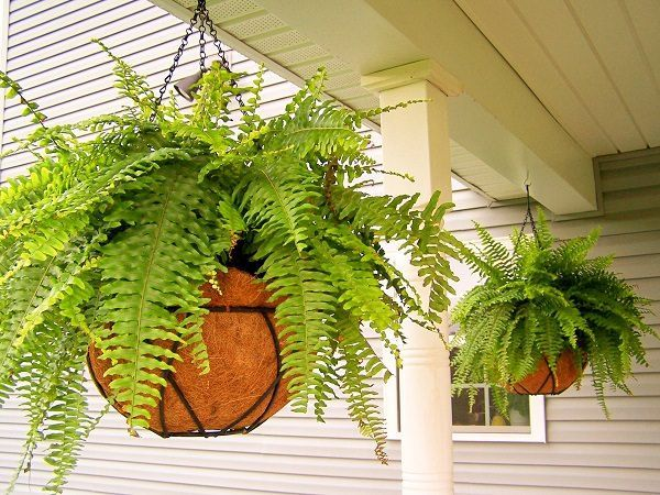 7 Best Ferns To Grow In Hanging Baskets