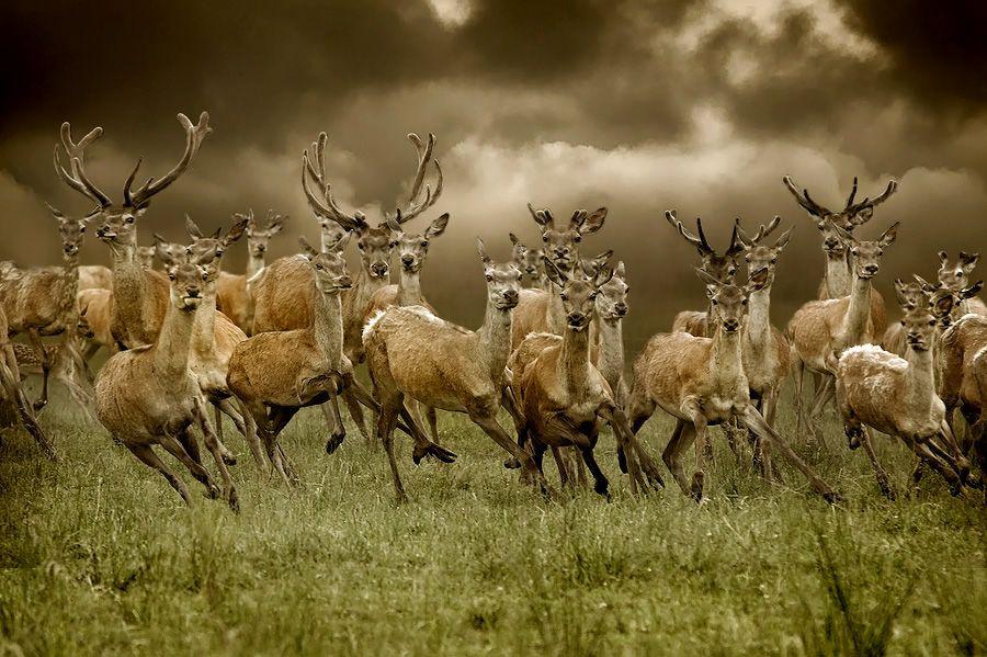 Graceful movement motion, field, horns, sepia, herd, roe