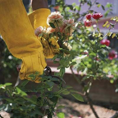 Prune In Early Spring To Get The Best Blossoms Use These Tools And Materials For Beautiful Results Pruning Roses Plants Prune