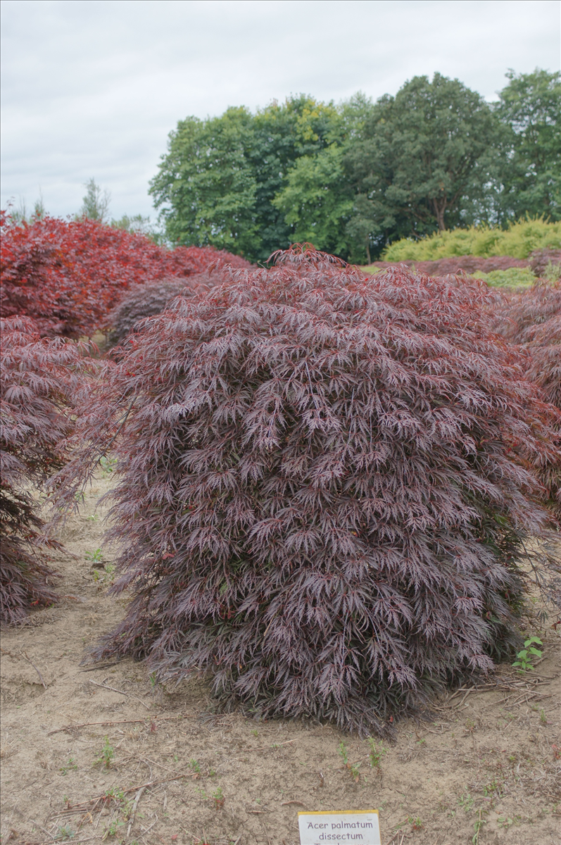 Acer Palmatum Var Dissectum Tamukeyama Another Dwarf Maple With