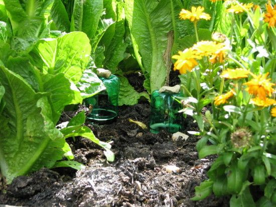 Plastic Bottle Snail and Slug Beer Trap for the garden