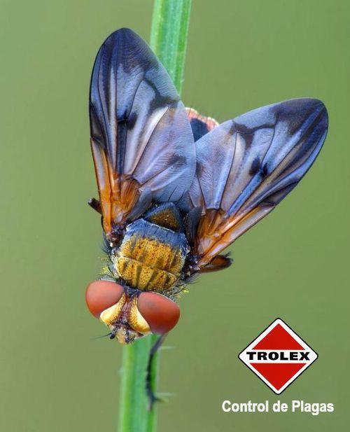 Cosas que hace la Mosca dómestica  Las moscas domésticas son las más extendidas de las más de 300 000 especies de moscas conocidas. Se pueden encontrar en todo el mundo.