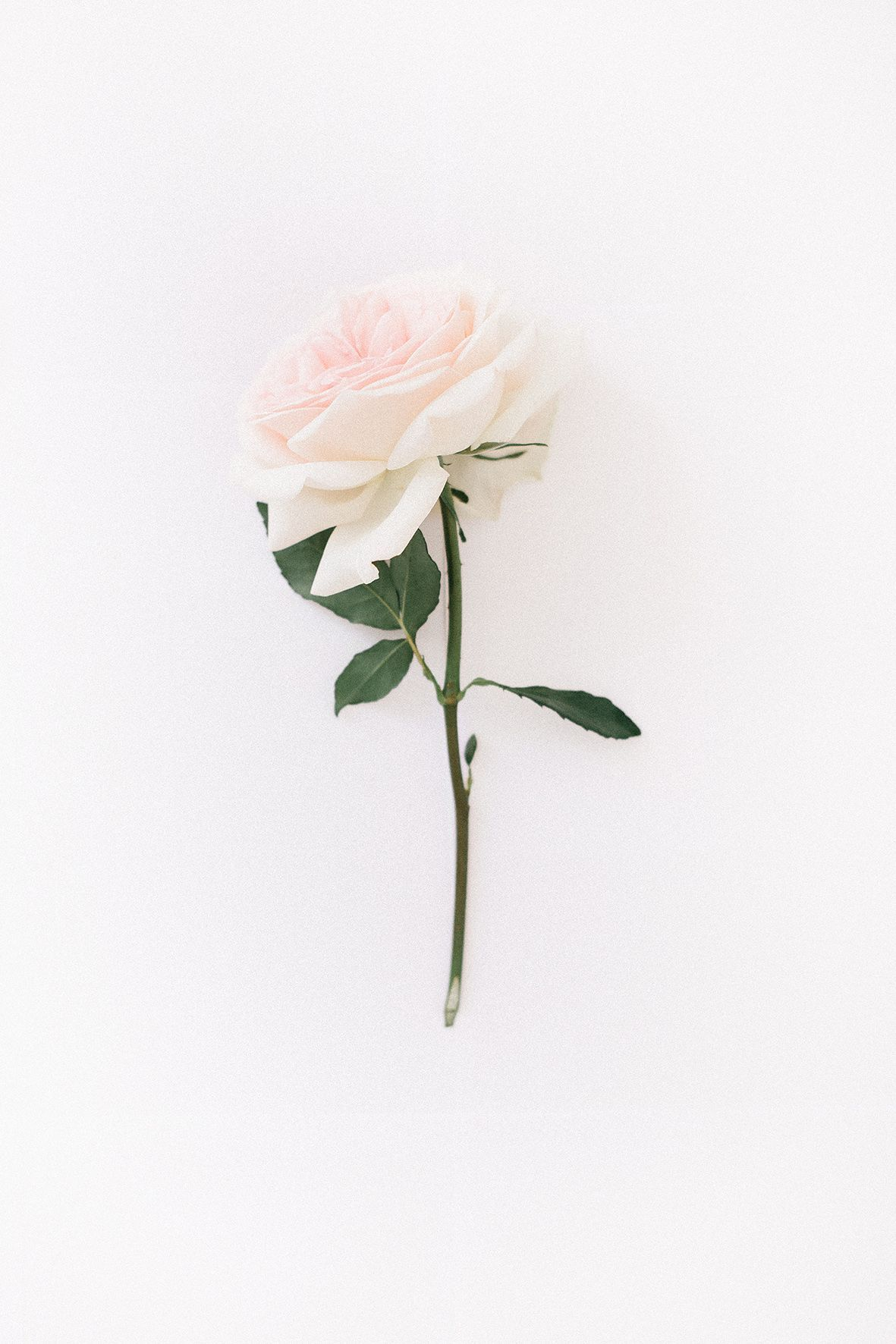 Pin By Jillian On Iphone White Roses Wallpaper Rose Wallpaper