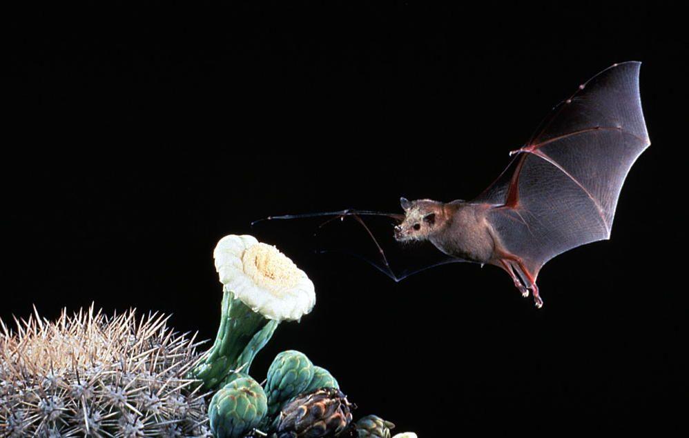 LESSER LONG-NOSED BATS (Leptonycteris curasoae)