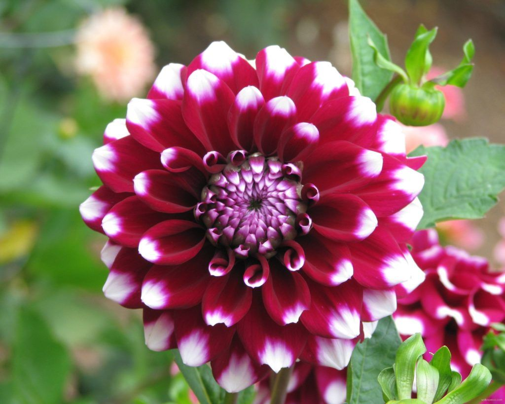 Dahlia Flower Images Photos Download Dahlia Flower Azalea Flower Beautiful Flowers Wallpapers