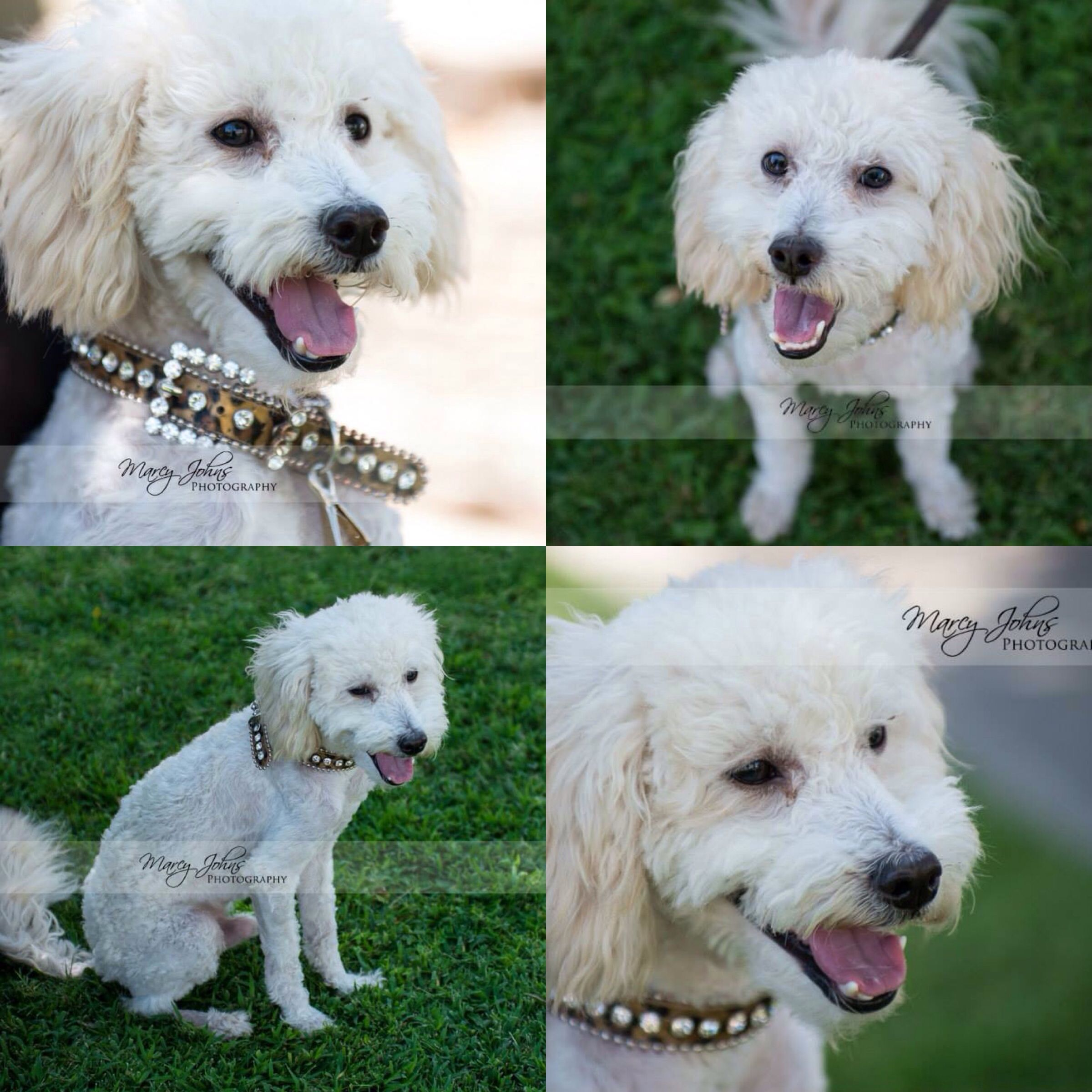 Beckham Is Looking For His Forever Home Pulled From High Kill San Bernardino City Shelter By Fluffs And Scruffs Rescue In Palm Dog Info Maltese Poodle Poodle