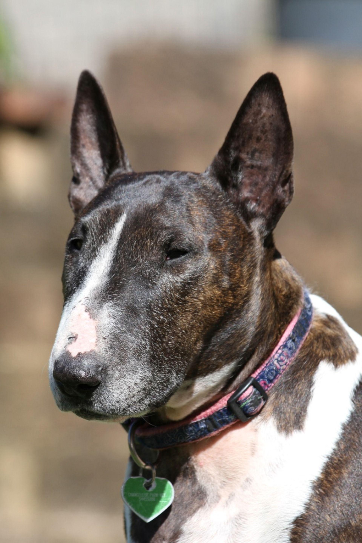 Vous souhaitez adopter un Bull Terrier ? Découvrez les atouts et inconvénients de cette race sur le Blog de La Ferme des Animaux