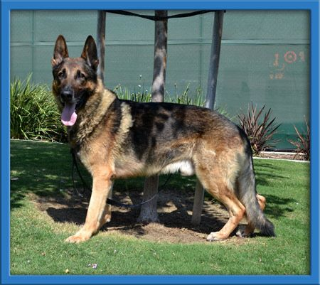 Gunther Is Available For Adoption At Coastal German Shepherd