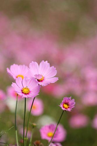 Pink Cosmos Beautiful Flowers Flowers Nature Cosmos Flowers
