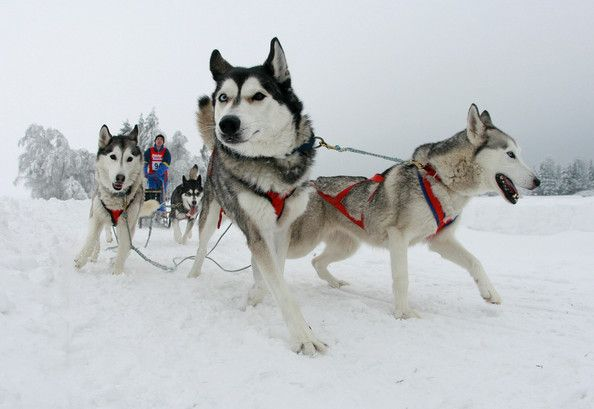 Pullman City Quest Dog Sled Race Dogs Dog Activities Dog Harness