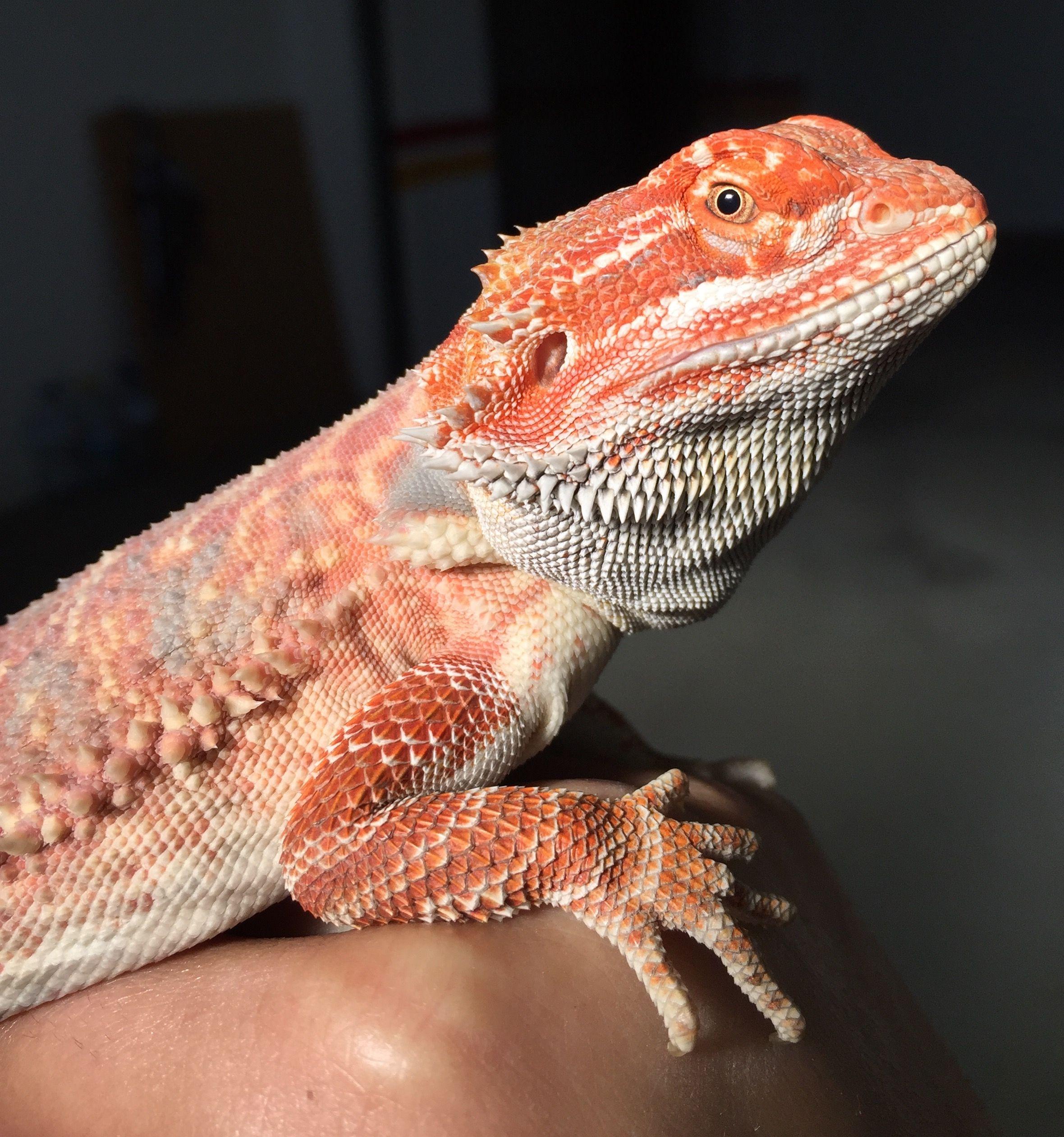 Pink chameleon beardied dragon | lizards | Bearded dragon, Pet