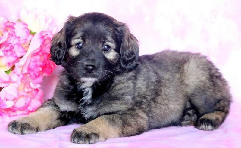 Cocker Spaniel Keeshond Mix Puppy For Sale In Mount Joy Pa Adn 69162 On Puppyfinder Com Gender Female Age 7 Puppies For Sale Keeshond Puppy Cocker Spaniel