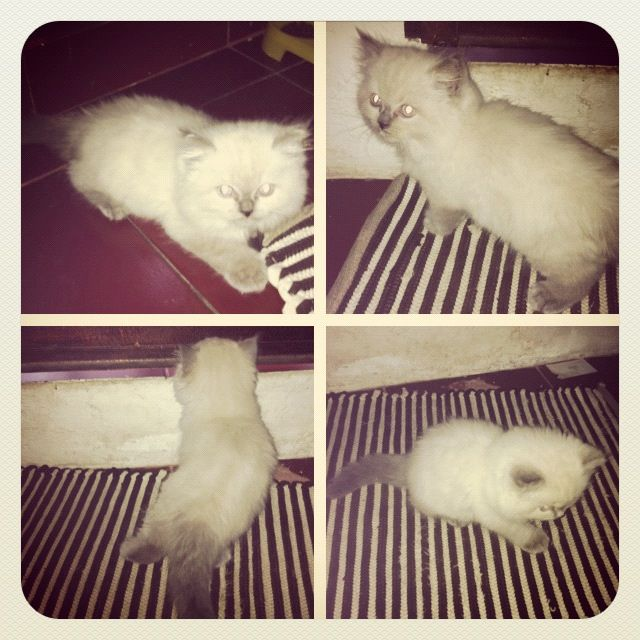 A Cute Persian-Flatnose-Kitten That Me And My Girlfriend -5625