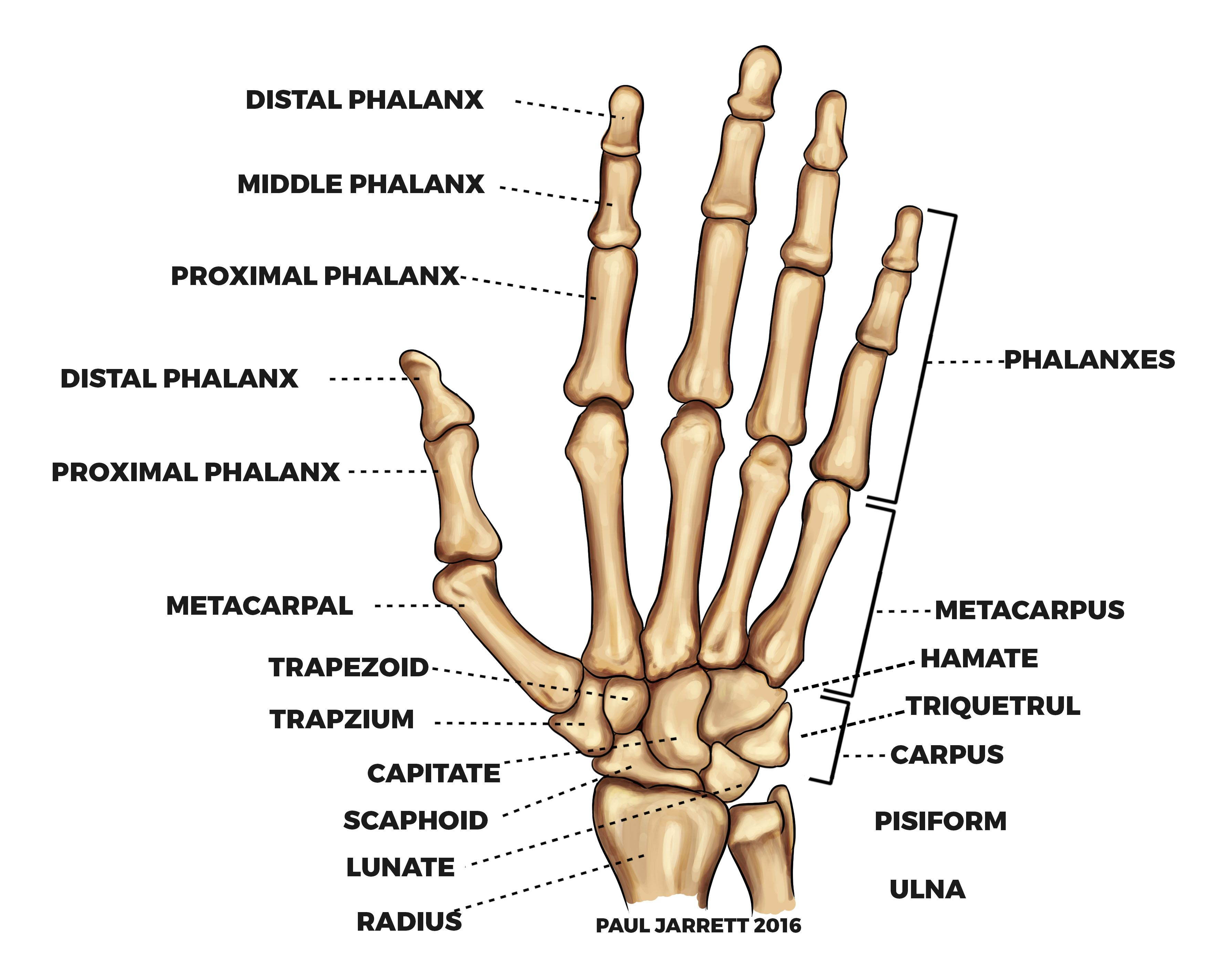 Pin By Meshaloof Meshal On My Saves In 2020 Anatomy Bones Hand Anatomy Hand Bone
