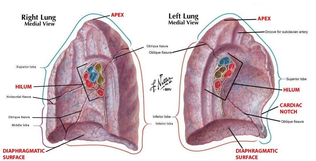 Difference Between Root And Hilum Of Lung Google Search Anatomy