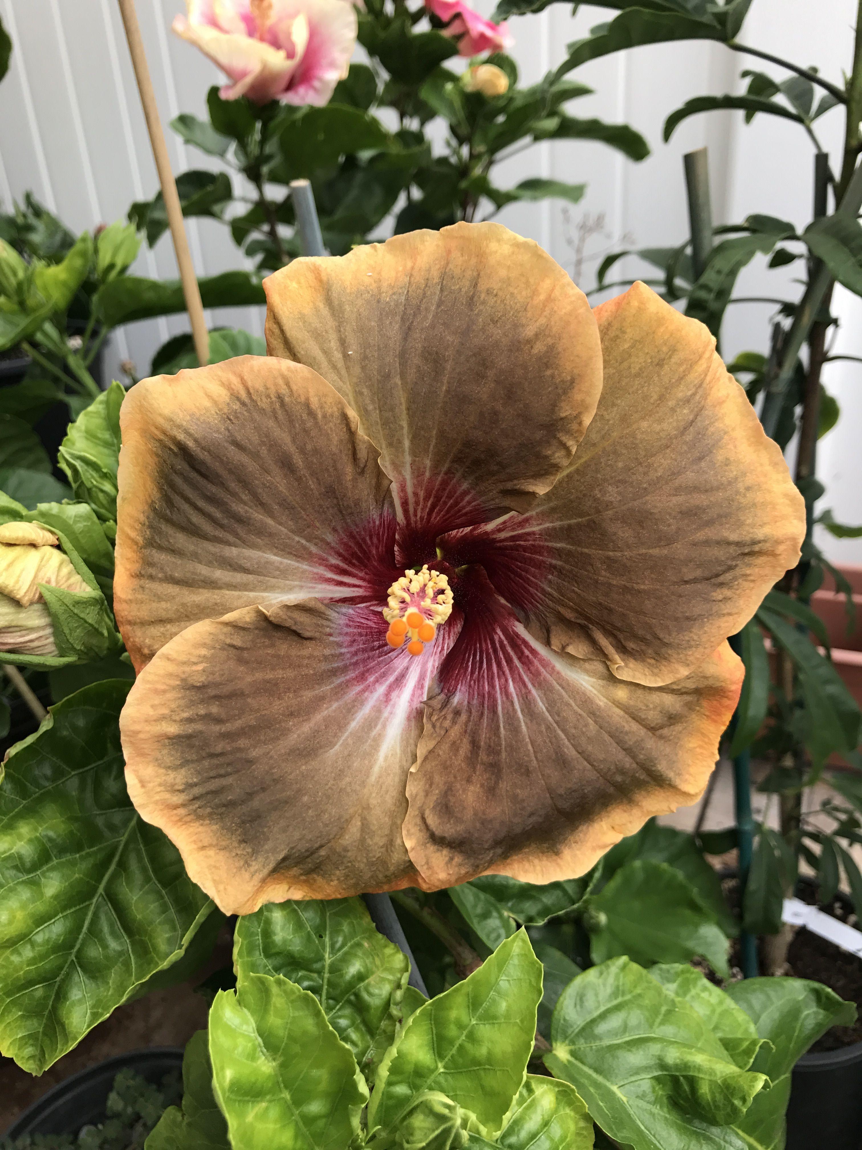 Dream Weaver hibiscus